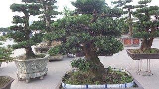 Download Báo giá toàn bộ tùng la hán khủng - pine bonsai at My Dinh bonsai market Video