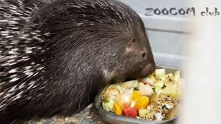 Download Дикобразы и дикобразята играют. И что они едят? Video