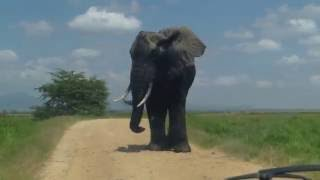 Download MONSTER ELEPHANT ENCOUNTER! Video