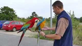 Download Cherry a Blue...free flight macaw blue and gold macaw with Green-w .... Bílá Voda Chodov Video