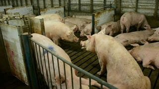 Download Mexico's tariff on pork is unsettling: Ken Maschhoff Video