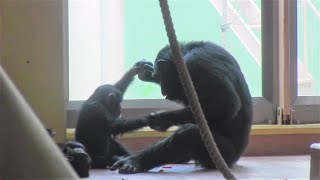 Download ママと息子と双子娘 Mom & son & twin girls ④チンパンジーChimpanzee Video