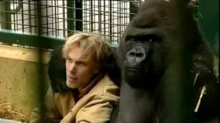 Download Gorilla Gorilla - Damian Aspinall & Kifu at Howletts Wild Animal Park, Kent Video