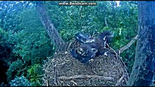 Download A Sneaky Grab! - Hanover, PA Bald Eagle nest - June 23, 2017 Video