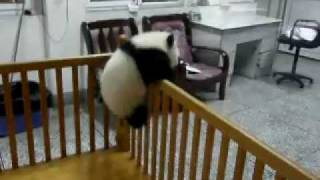 Download Escaping Baby Pandas Video