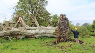 Download A Gale Uprooted This Tree – And Scientists Discovered Something Shocking Beneath It Video