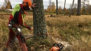 Download Safe and precise - How to cut down a tree Video