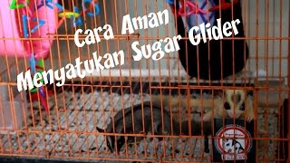 Download Cara Aman Menyatukan Sugar Glider / A Safe way to unite your Gliders [English Sub] Video