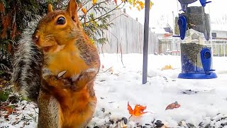 Download Winter Wonderland Squirrels and Birds - A Video Spectacle For Cats to Watch Video