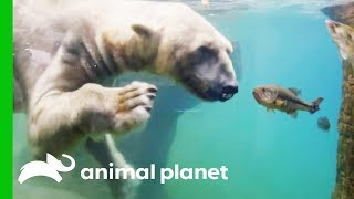Download Polar Bears Show Off Their Hunting Abilities | The Zoo: San Diego Video