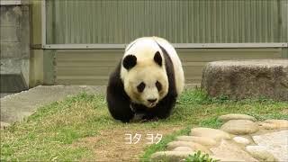 Download 食事中に腰が抜けたパンダだいじょうーぶ?2018年3月19日 Video