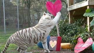 Download Valentine's Day At Big Cat Rescue!! Video