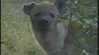 Download Leopard Cubs & Hyena Video