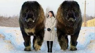 Download 10 Abnormally Large Dogs Around The World! Video