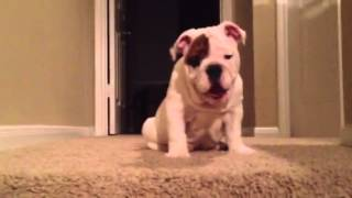 Download Bulldog puppy attempts epic first journey down stairs! Video
