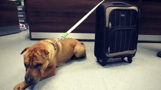Download Dog Abandoned & Tied To Suitcase At Scottish Train Station Finds Happy Ending. Video