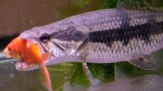 Download Wolffish eating feeder X 2 (Hoplias malabaricus) Video