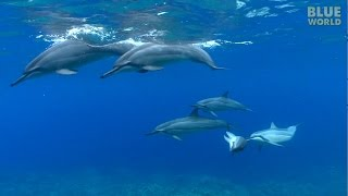 Download Hawaiian Spinner Dolphins | JONATHAN BIRD'S BLUE WORLD Video