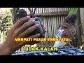 Download Merpati PASAR Ternyata Tidak KALAH Video