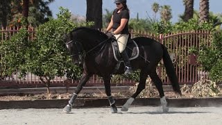 Download **For Sale** 16.2 Hand PRE Stallion Video