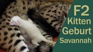 Download Savannah Katze - Geburt F2 Savannah snow Video
