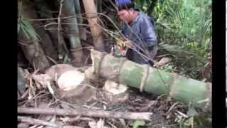 Download Giant Bamboo Biggest in Thailand 1 Video