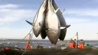 Download BLUEFIN TUNA FISHING NETS (BIG CATCH) Video