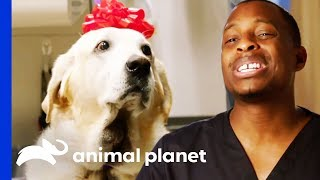 Download Gus The Labrador Has A Huge Painful Growth On His Neck | The Vet Life Video
