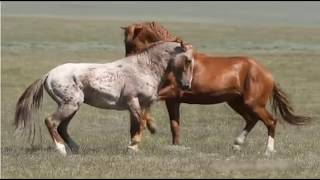 Download Observing Stallion & Herd Behavior - Learning To Think Like A Horse Video