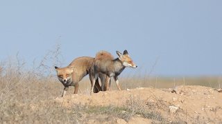 Download Foxes mating Video