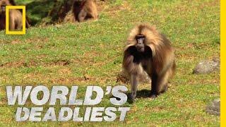 Download Gelada vs. Gelada | World's Deadliest Video