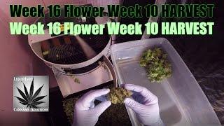 Download Week 16 Flower Week 10 HARVEST Video