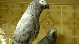 Download African Grey parrots bedtime noises! Video