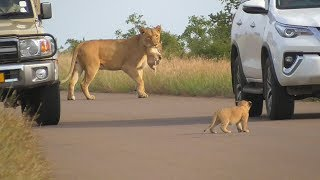 Download SOUTH AFRICA lioness puts her cubs in safety, Kruger national park Video