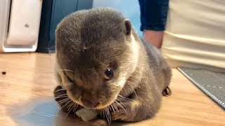 Download カワウソさくら 以前にも増して景気良くレタスをもしゃるカワウソ otter eating lettuce violently Video