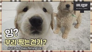 Download (제목 오늘 쉼)ㅣThe Cutest Seven Retriever Puppy Siblings! Video