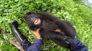 Download GoPro: Gorilla Tickling at the GRACE Center Video
