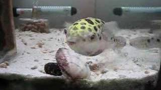 Download ミドリフグ*3 (Green Spotted Puffer ) Video
