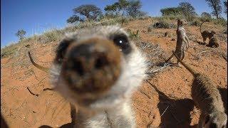 Download Robot Meerkat Babysits Cute Meerkat Babies Video