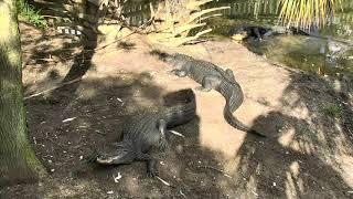 Download Alligator Swamp and Spoonbills Cam 08-29-2018 06:15:52 - 07:15:54 Video