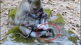 Download Part2, Break my heart ! Lori baby monkey cry loudly more and more when see mom come near her. Video