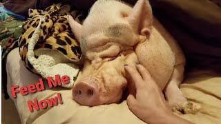 Download Mini Pig throwing a tantrum 😂 Sammy the Hammy the smiling Pig on Face book Video