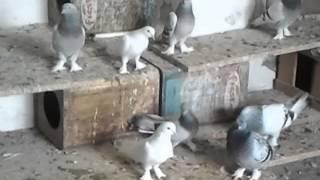 Download Viranşehirli Adnan Ustanın Güvercinleri ( 05446522206 ) Video