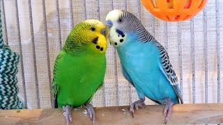 Download 2 Hours Nature Sounds Parakeets Budgies Chirping Singing. Reduce stress blood pressure Video