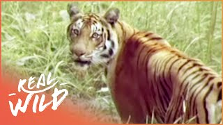 Download Kingdoms Of Survival: Tiger, Tiger | Wild Things Video