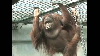 Download 王子動物園 セクシーなオランウータン Video