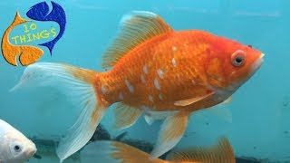 Download Get These Fish Out Of The Hobby! Top 10 Fish That Shouldn't Be In Aquariums Video