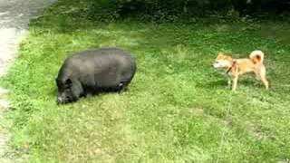 Download Dog meets pot-bellied pig Video