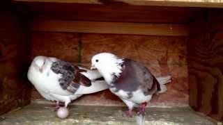 Download Pigeon laying egg:) Video