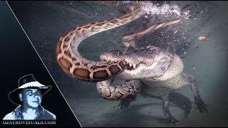 Download Alligator Attacks Python Underwater 01 Video